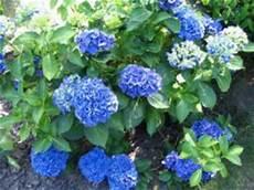 wie kriege ich meine hortensien wieder blau haus