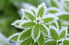 winterharte immergrüne pflanzen can i revive plants if they ve been frozen abc scapes inc