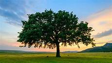 12 Fast Growing Shade Trees Arbor Day