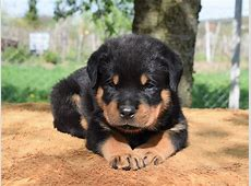 Jumbo   Rottweiler Puppy for sale   Euro Puppy