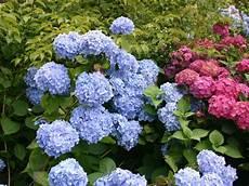 bauernhortensie endless summer 174 blau hydrangea
