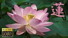 lotus flower in japan full hd youtube