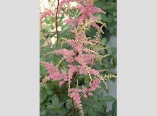 Bressingham Beauty Astilbe (Astilbe x arendsii