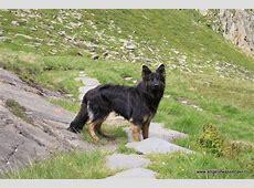 Verenigingen   Duitse Herder Club Nederland   Honden