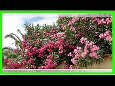 oleander vermehren mit stecklingen oder samen