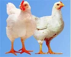 Budidaya Ayam Potong Broiler Sniperoze