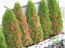 Lebensbaum Orientalischer Lebensbaum Brabant Lubera Ch