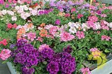 piante fiorite perenni perenni e annuali da fiore casanatura vivaio
