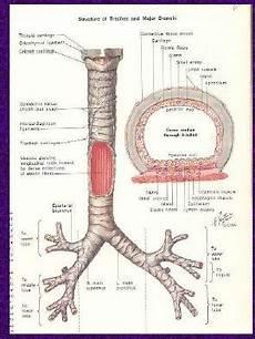 Anatomi Saluran Pernafasan Teuku Fakhrizal S Pd S