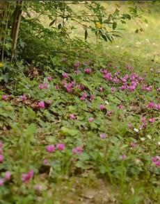 Cyclamen Coum Fr 252 Hlings Garten Alpenveilchen Kaufen De