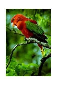 Gambar Burung Nuri Gambar Burung Hias Piaraan Kicau