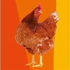 cerco animali da cortile in regalo regala una gallina regalo solidale
