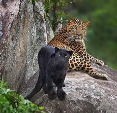 jaguars animals beautiful big cats animals
