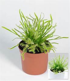 pflanze mit i fleischfressende pflanze quot sonnentau quot 1 pflanze g 252 nstig