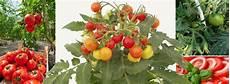 Wann Tomaten Pflanzen Extremelysudden
