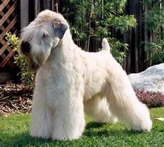 soft coated wheaten terrier haircut photos pin by soft coated wheaten terrier puppy project