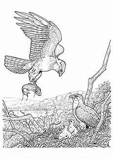Ausmalbilder Zum Drucken Adler Ausmalbilder Adler F 228 Ngt Einen Fisch Adler Malvorlagen