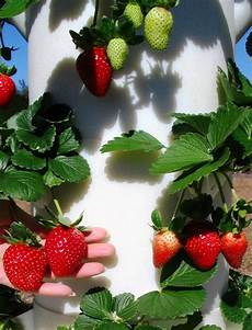 Gardening Strawberries by Amish Farm Leads The Way To Local Food Security In Indiana