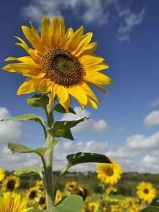 Cara Menanam Bunga Matahari Yang Benar Bibitbunga