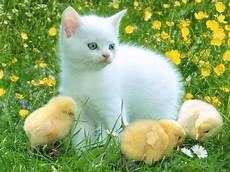 Beautiful Cat Backgrounds all wallpapers beautiful cats hd wallpapers