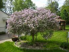 lilac tree ghulf genes butterflies and the bush on a tree