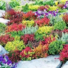 calluna vulgaris sorten plants calluna vulgaris garden collection