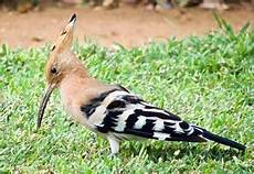 16 Gambar Burung Uhud Gani Gambar