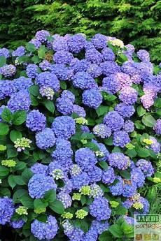 quand planter les hortensias fleurs et plantes