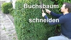 buchsbaum schneiden buxus zur 252 ckschneiden formschnitt
