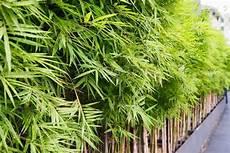 Pflanzen Als Sichtschutz F 252 R Garten Balkon Plantura