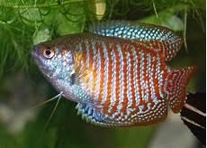Fish Ikan Hias Air Tawar Ikan Sepat Hias