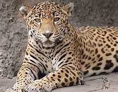 inside the jaguar jungle what to know about audubon zoo exhibit apex predator after escape