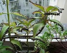brutblatt gartenpflanzen pflanzen und blumen