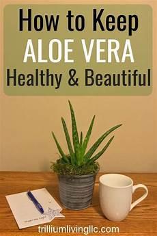 how to keep your aloe vera beautiful zimmerpflanzen