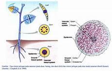 Struktur Dan Fungsi Tubuh Tumbuhan 8e Batang
