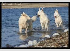Zwitserse Witte Herder Pups te Koop Aangeboden op