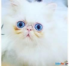 annunci gatti persiani gattini persiani ed in vendita a cassino fr