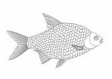 Malvorlage Fisch Schuppen Ausmalbilder Fische Gratis Kinder Ausmalbilder