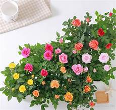 roselline in vaso 2019 mini seed flower pot seed plant indoor