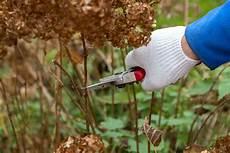 wann werden hortensien geschnitten hortensien schneiden zeitpunkt anleitung f 252 r