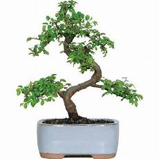 Bonsai Baum Kaufen - brussel s elm bonsai small outdoor walmart