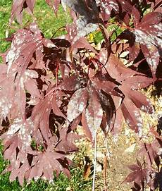 bloodgood japanese maple disease ask an expert