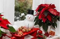 weihnachtsstern pflege im sommer weihnachtsstern 252 berwintern 187 die richtige pflege im
