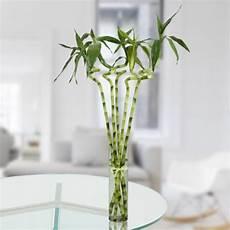 bambou en vase 5 spiral stick lucky bamboo gurgaon florist
