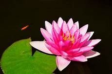 Lotus Flower Symbolism In Different Religions And Cultures