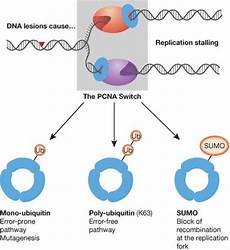 pcn9a the pcna switchdamaged dna e g by uv light can inter