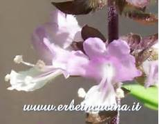 canella fiore erbe in cucina coltivare il basilico cannella