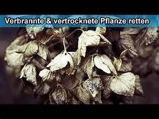 Vertrocknete Pflanzen Retten - vertrocknete und verbrannte pflanzen retten anleitung