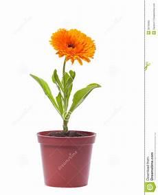 pot de fleur jaune fleur jaune dans un pot image stock image du objets