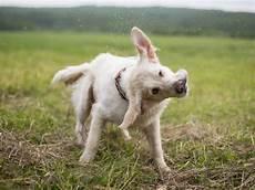 mon chien sent mauvais des oreilles que faire